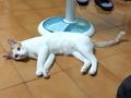 寵物認養,請用認養代替購買---貓咪-米克斯