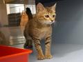 寵物認養,為阿比西尼亞mix找尋他的家---阿比西尼亞mix