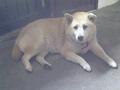 寵物遺失,請協助找尋我的寶貝---柴犬