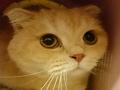 寵物遺失,請協助找尋我的寶貝---折耳美短混種貓